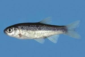Γκιζάνι, το ψαράκι που κατοικεί στη Ρόδο - Φωτογραφία 2