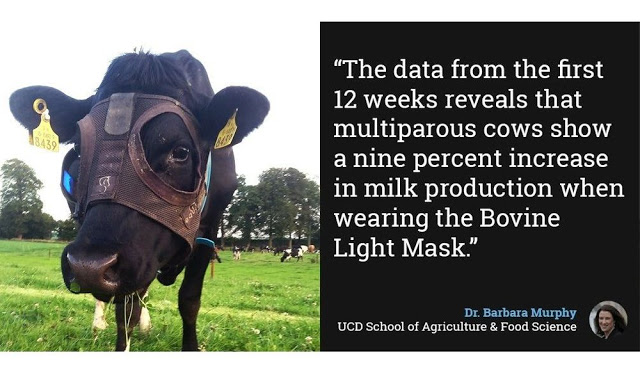 Ιρλανδία: Αγελάδες παράγουν περισσότερο γάλα φορώντας… μάσκα! - Φωτογραφία 2