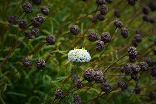 Σίλφιο το πανάκριβο βότανο των αρχαίων Ελλήνων - Φωτογραφία 1