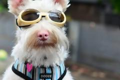 Σκύλος με αλφισμό αναγκάζεται να φοράει γυαλιά ηλίου.