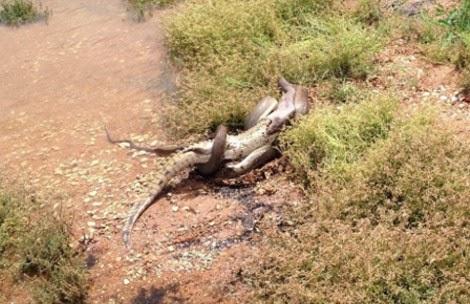 Συγκλονιστικές εικόνες: Πύθωνας παλεύει με κροκόδειλο, τον σκοτώνει και... [photos] - Φωτογραφία 2