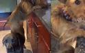 Σκύλος σκαρφαλώνει σε έναν άλλον για να κλέψει φαγητό από τον πάγκο της κουζίνας