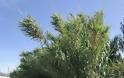 ΠΑΝΑΓΙΩΤΗΣ ΣΤΑΪΚΟΣ: Ζούγκλα από καλαμιές μέσα στον Αστακό που αποτελούν κρησφύγετο ναρκομανών! - Φωτογραφία 3