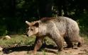 Καφέ αρκούδα (Ursus arctos), ο εκτοπισμένος συγκάτοικός μας