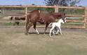 Αυτό το άλογο γέννησε μία πολύ σπάνια φοράδα - Δώστε προσοχή στο πρόσωπο της και θα καταλάβετε!