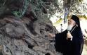 Η αρχαιότερη ελιά της Μεσογείου