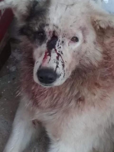 ΦΡΙΚΗ: Σκύλος βρέθηκε τραυματισμένος και χτυπημένος στο κεφάλι στην ΚΟΜΠΩΤΗ Ξηρομέρου   Έκκληση της Φιλοζωικής Οργάνωσης Αγρινίου για μαρτυρίες κατοίκων του χωριού! - Φωτογραφία 2