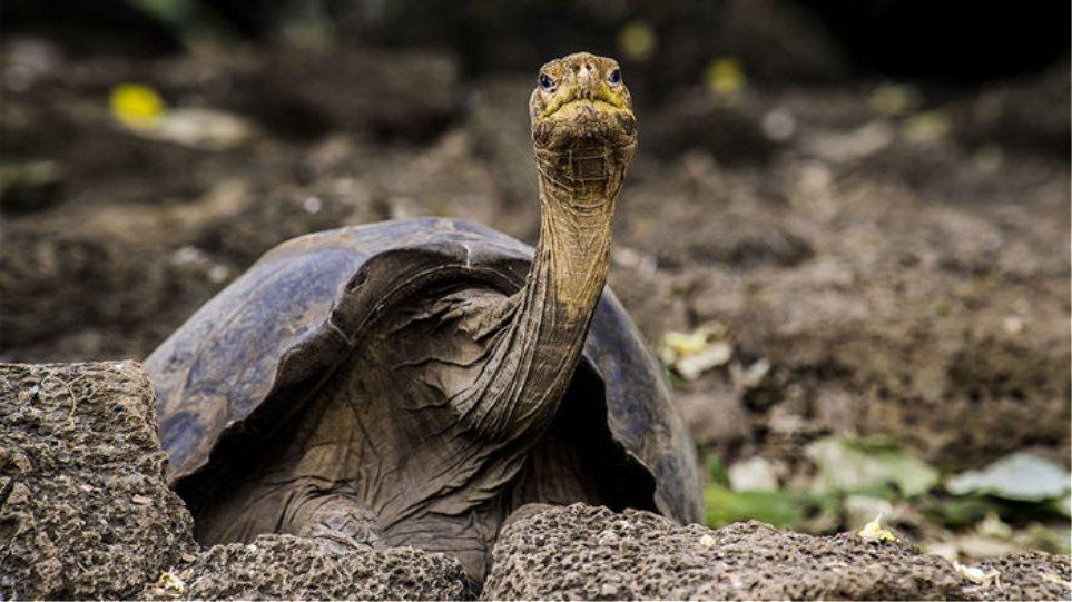 «Μοναχικός Τζορτζ»: Η γιγάντια αιωνόβια χελώνα προσφέρει στην επιστήμη ακόμα και μετά θάνατον - Φωτογραφία 1