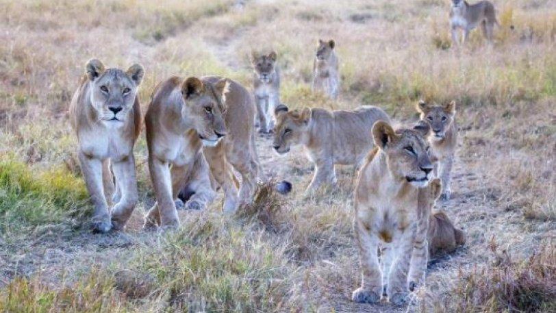 Η απίθανη στιγμή που 10 λιοντάρια στήνονται σε μία... τρομακτική πόζα - Φωτογραφία 1
