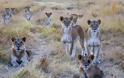 Η απίθανη στιγμή που 10 λιοντάρια στήνονται σε μία... τρομακτική πόζα - Φωτογραφία 2