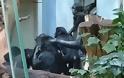 Σώστε τον Μπίλι: Τρομακτικό bullying πιθήκων σε χιμπατζή μέσα σε ζωολογικό κήπο - Φωτογραφία 2