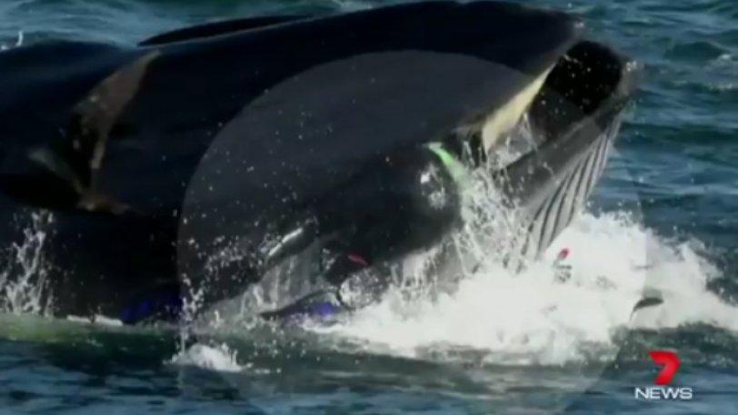 Φάλαινα παραλίγο να καταπιεί δύτη που βρέθηκε στο διάβα της - Φωτογραφία 1