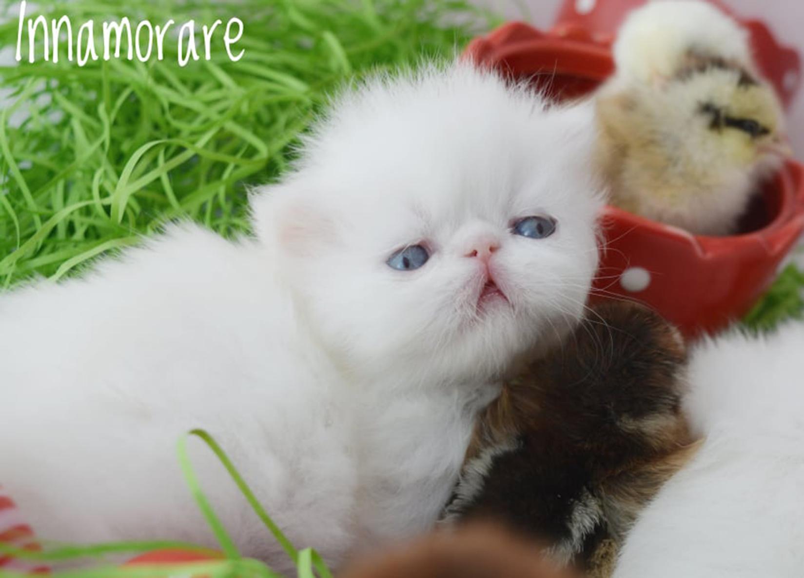 54107c8b33fb Η αριστοκράτισσα γάτα Περσίας - Φωτογραφία 2