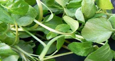 Είναι το πιο υγιεινό λαχανικό στον κόσμο κι όμως…κανείς δεν το γνωρίζει - Φωτογραφία 1