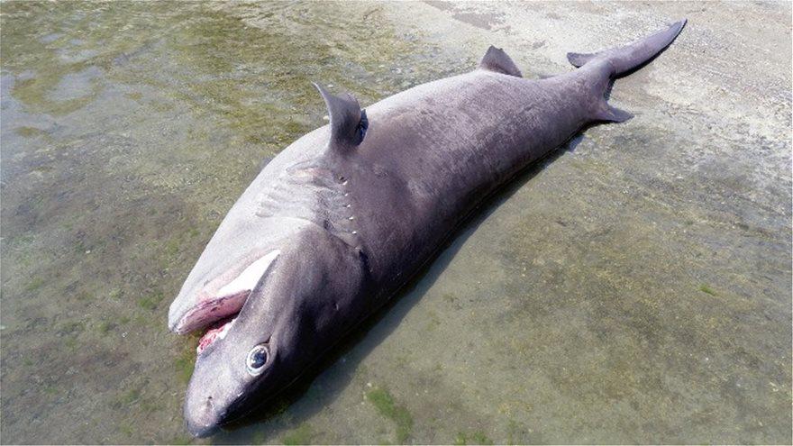 Ρόδος: Βρήκαν νεκρό καρχαρία 4 μέτρων και 436 κιλών! - Φωτογραφία 4
