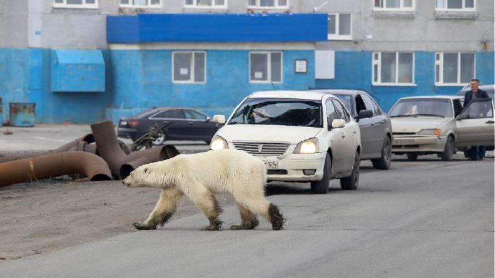Βρέθηκε η εξουθενωμένη πολική αρκούδα που περιπλανιόταν σε πόλη της Σιβηρίας - Φωτογραφία 1