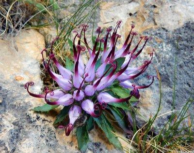 Ουρικό οξύ: Τα βότανα που το «διαλύουν» - Φωτογραφία 3