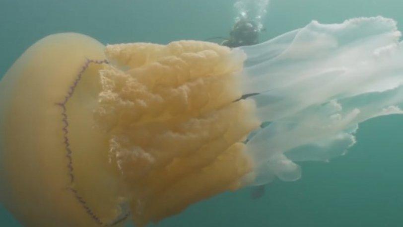 Γιγαντιαία τσούχτρα κολυμπάει πλάι σε μία γυναίκα και την «εξαφανίζει» - Φωτογραφία 2