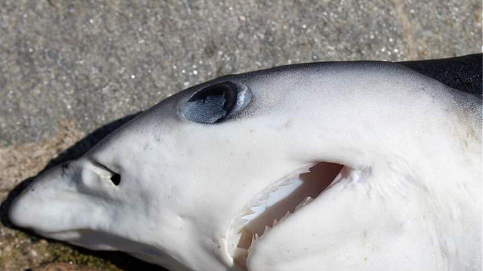 Μικρός καρχαρίας εντοπίστηκε στο λιμάνι - Φωτογραφία 1