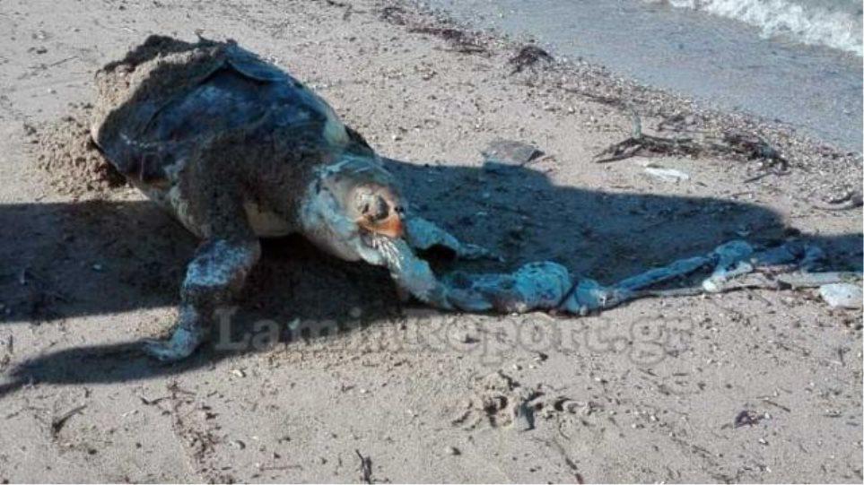 Νεκρή χελώνα καρέτα – καρέτα στην παραλία του Σχοινιά - Φωτογραφία 1