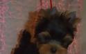 Γιόρκσαϊρ Τέριερ: Λιλιπούτειος αλλά με καρδιά λιονταριού - Φωτογραφία 2