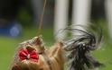 Γιόρκσαϊρ Τέριερ: Λιλιπούτειος αλλά με καρδιά λιονταριού - Φωτογραφία 4