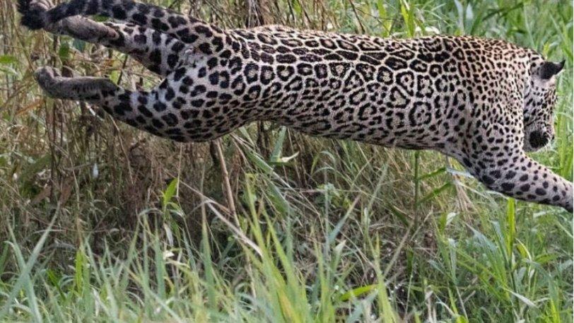 Η τρομακτική επίθεση ενός ιαγουάρου σε κροκόδειλο και η μάχη που ακολούθησε (vid) - Φωτογραφία 1