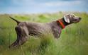 Χάθηκε κυνηγετικός σκύλος στη Ρόδο