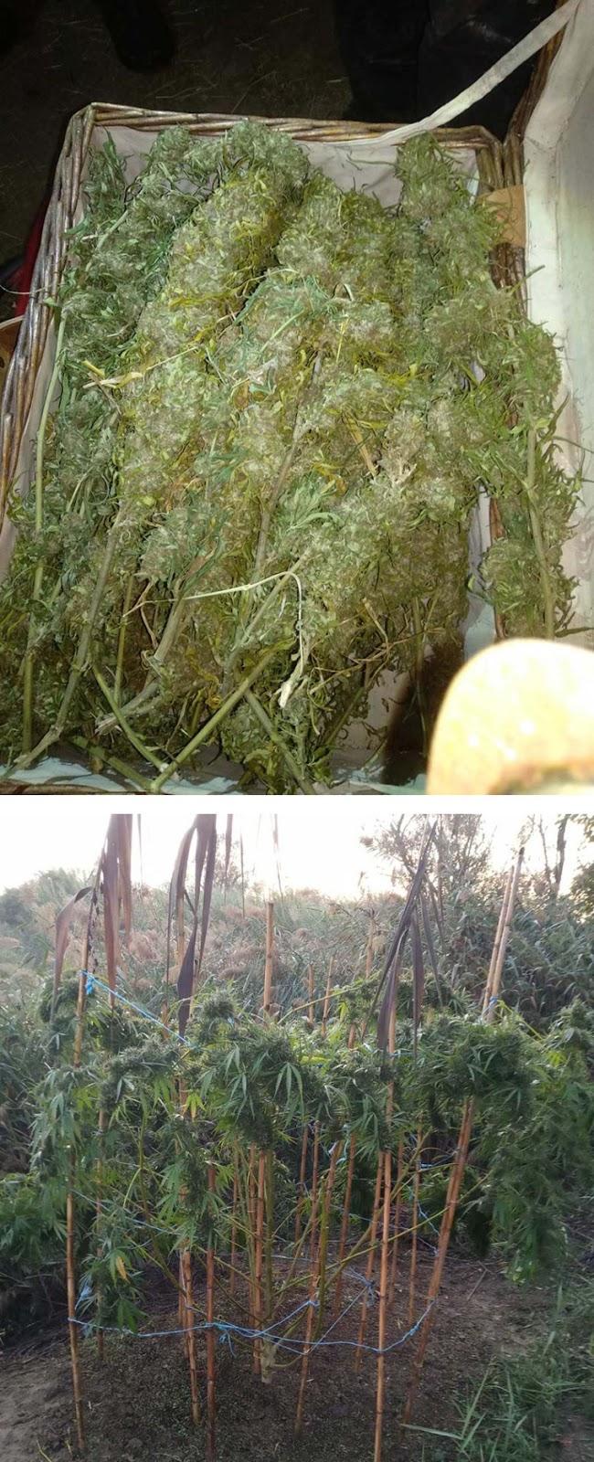 Χειροπέδες σε 38χρονο για καλλιέργεια χασίς σε περιοχή του Παναιτωλίου (φωτο) - Φωτογραφία 2