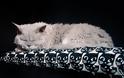 Selkirk Rex: Η τρυφερή γάτα με το σγουρό τρίχωμα - Φωτογραφία 2