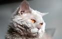 Selkirk Rex: Η τρυφερή γάτα με το σγουρό τρίχωμα - Φωτογραφία 3