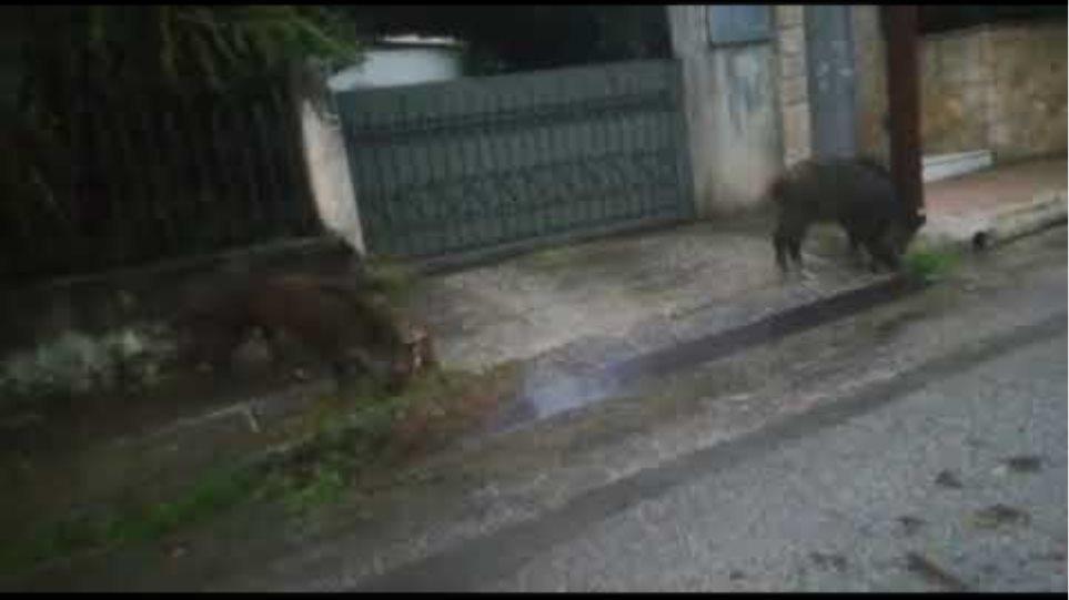 Αγριογούρουνα εμφανίστηκαν και στη Ραφήνα - Φωτογραφία 2