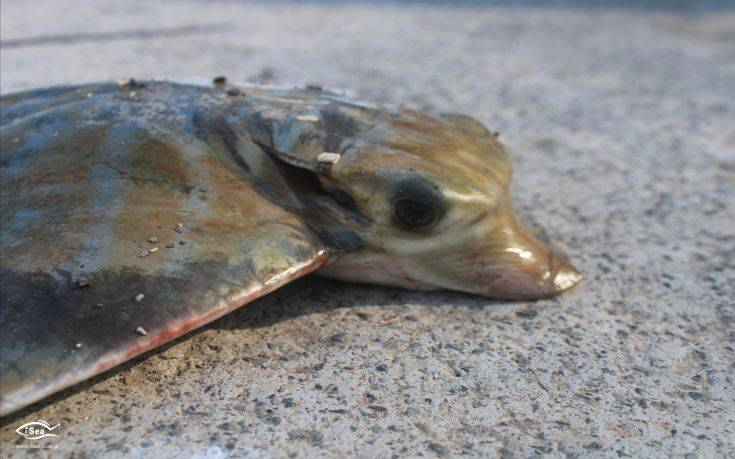 Οι Έλληνες αγοράζουν κατά λάθος μπλε καρχαρία αντί για γαλέο - Φωτογραφία 1