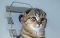 Σκότις Φόλντ: Η γάτα που δεν μοιάζει με καμιά άλλη - Φωτογραφία 2