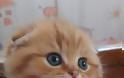 Σκότις Φόλντ: Η γάτα που δεν μοιάζει με καμιά άλλη - Φωτογραφία 5