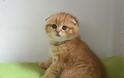 Σκότις Φόλντ: Η γάτα που δεν μοιάζει με καμιά άλλη - Φωτογραφία 6