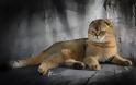 Σκότις Φόλντ: Η γάτα που δεν μοιάζει με καμιά άλλη - Φωτογραφία 8