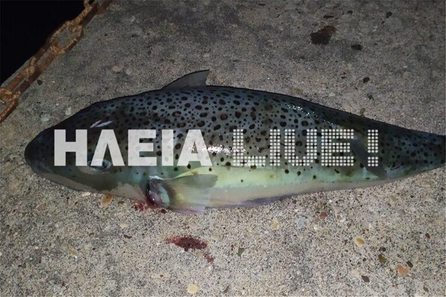 Λαγοκέφαλος - γίγας 3,8 κιλών στην Ηλεία - Φωτογραφία 2