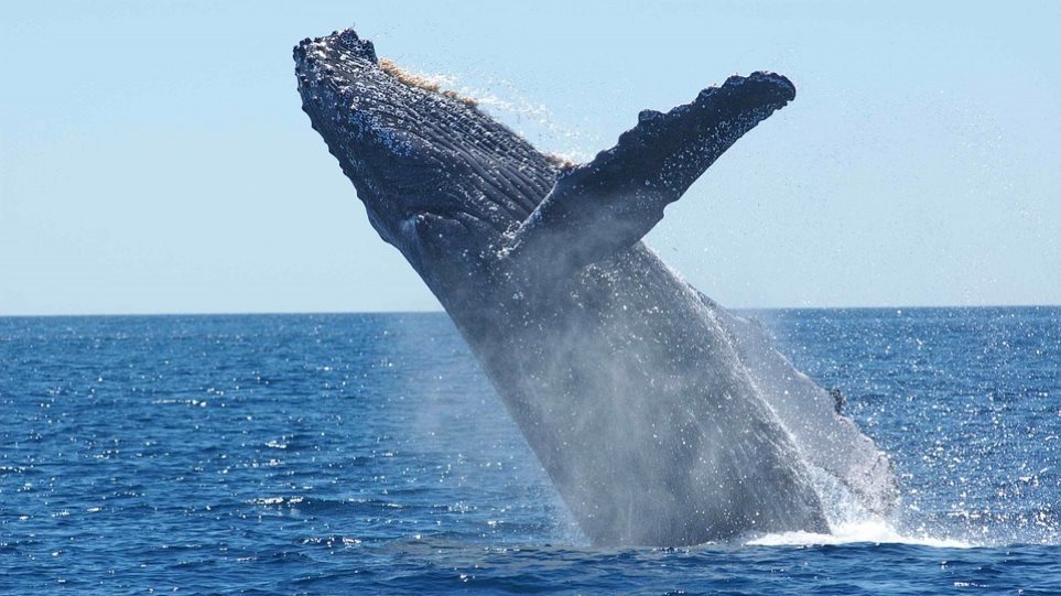 Ρωσία: Οι φάλαινες μεταναστεύουν προς τις νότιες θάλασσες - Φωτογραφία 1