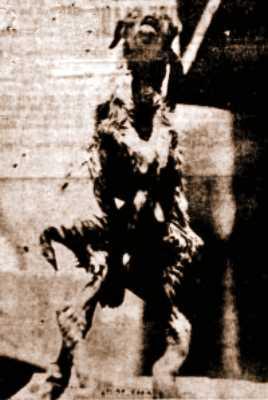 Το οκτάποδο κατσικάκι, που γεννήθηκε από γαϊδούρα, το 1931… - Φωτογραφία 1