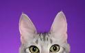 Γάτα Αγκύρας: Παιχνιδιάρα και τρυφερή, ιδανική για παιδιά και ηλικιωμένους - Φωτογραφία 2