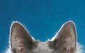 Γάτα Αγκύρας: Παιχνιδιάρα και τρυφερή, ιδανική για παιδιά και ηλικιωμένους - Φωτογραφία 5