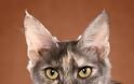 Γάτα Αγκύρας: Παιχνιδιάρα και τρυφερή, ιδανική για παιδιά και ηλικιωμένους - Φωτογραφία 6