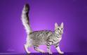 Γάτα Αγκύρας: Παιχνιδιάρα και τρυφερή, ιδανική για παιδιά και ηλικιωμένους - Φωτογραφία 7