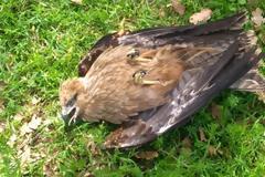 Δεκάδες άγρια πουλιά νεκρά γύρω από τον ΧΥΤΑ Αμαρίου