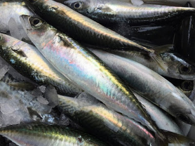 Κολιός, ψάρι πλούσιο σε ωμέγα-3 λιπαρά οξέα. Διαφορές από το σκουμπρί. ΠΟΤΕ τον Αύγουστο! - Φωτογραφία 1