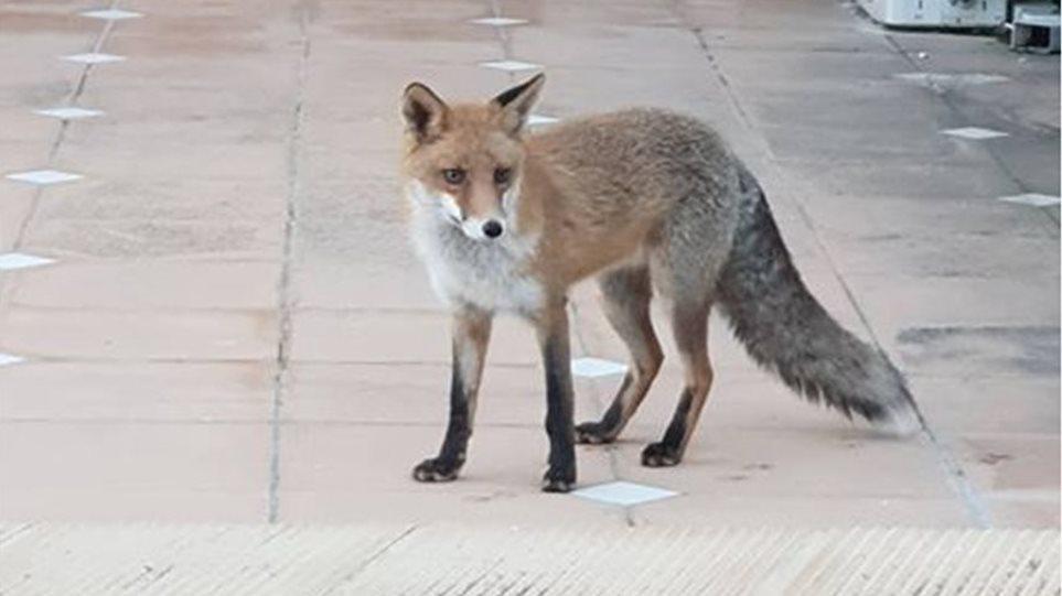 Αλεπού δάγκωσε 19χρονο - - Φωτογραφία 1