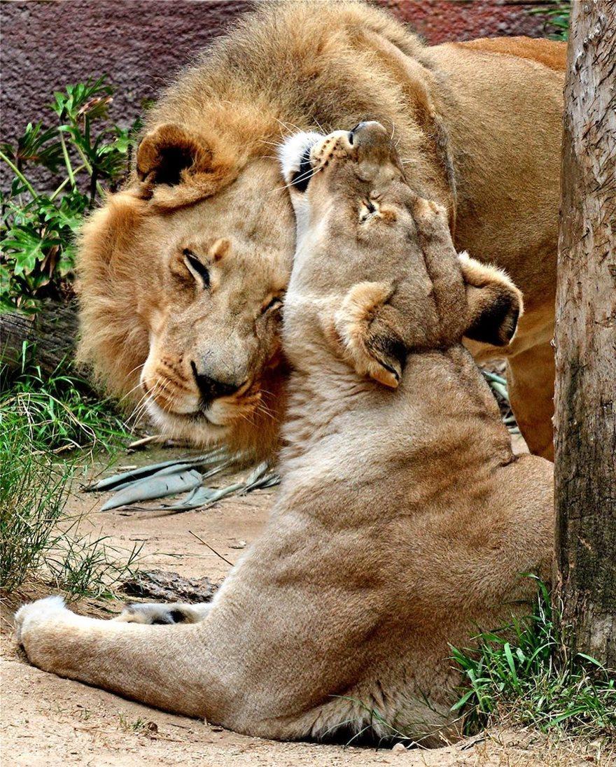 «Αχώριστα» λιοντάρια που έζησαν παρέα πολλά χρόνια και πέθαναν μαζί - Φωτογραφία 4