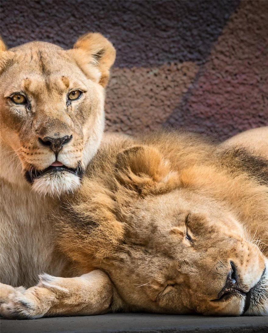«Αχώριστα» λιοντάρια που έζησαν παρέα πολλά χρόνια και πέθαναν μαζί - Φωτογραφία 6