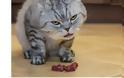Γάτα: Πόσο εύκολο είναι να πάθει αφυδάτωση; Πώς να την προστατεύσετε